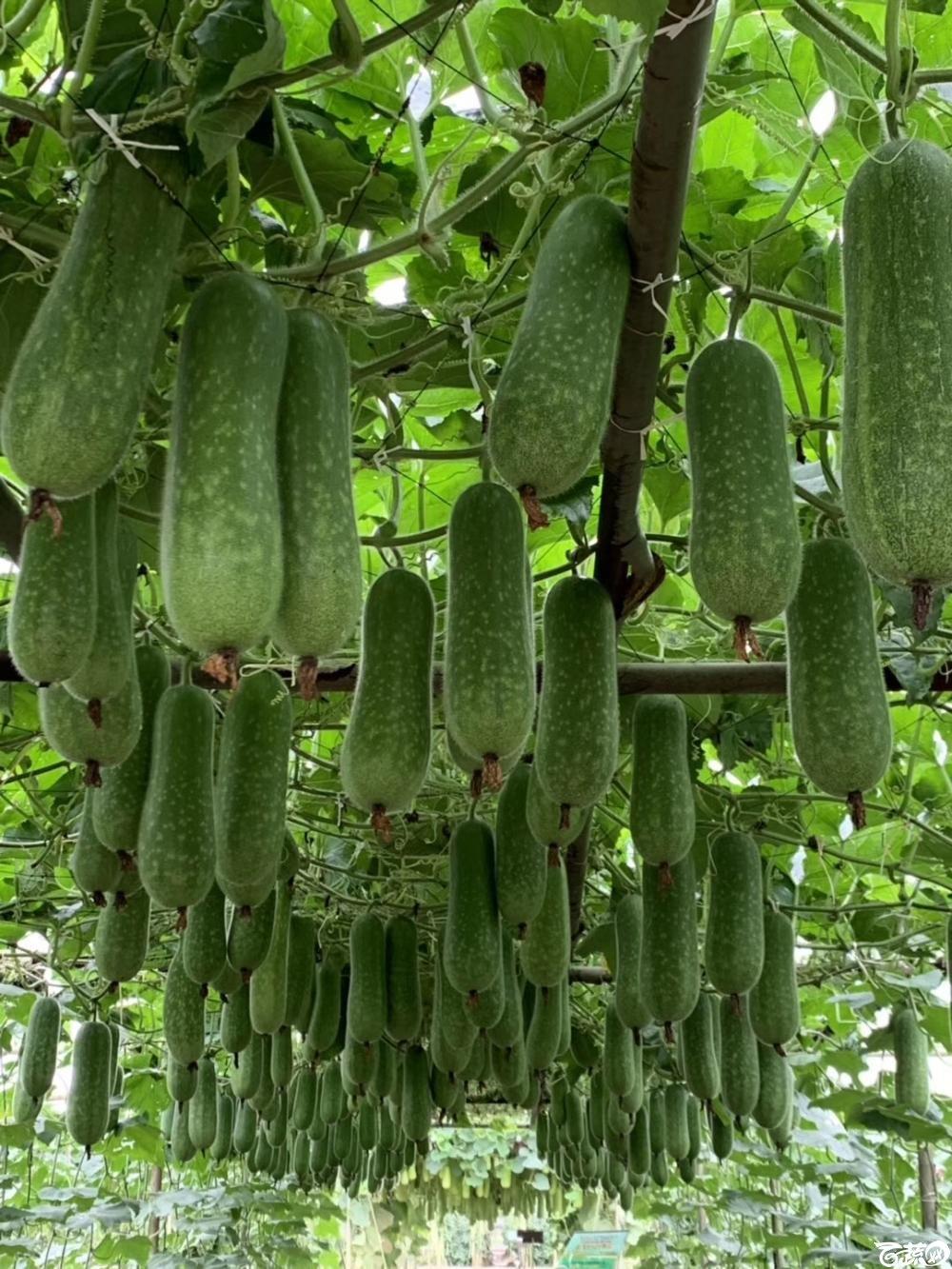 第十七届广州市蔬菜新品种展示推广会,广州亚蔬种苗公司宝玉节瓜.JPG