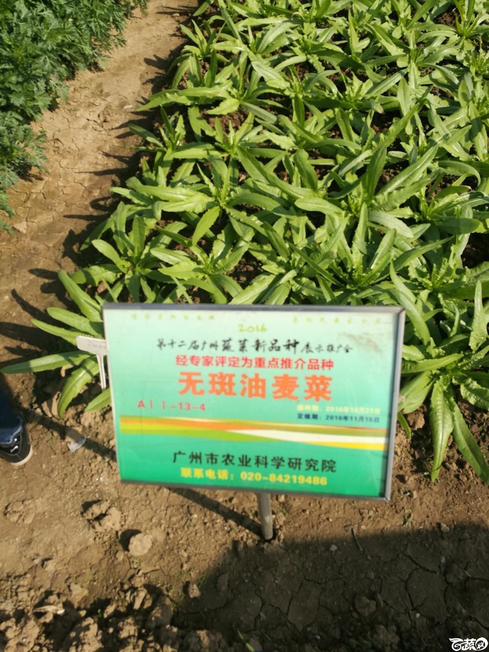 广州市农科院无斑油麦菜,第十二届广州蔬菜展示会专家重点推荐品种_002.jpg