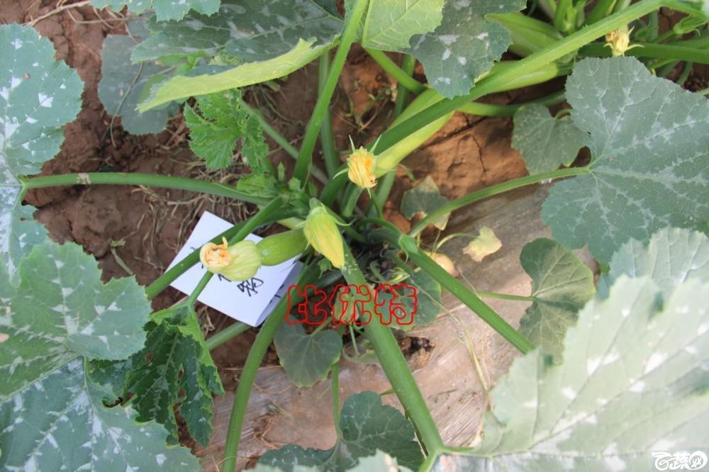 中农福得系列优良蔬菜品种田间展示种植表现_095.jpg