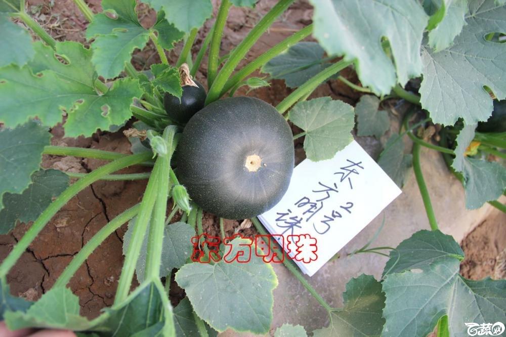 中农福得系列优良蔬菜品种田间展示种植表现_096.jpg