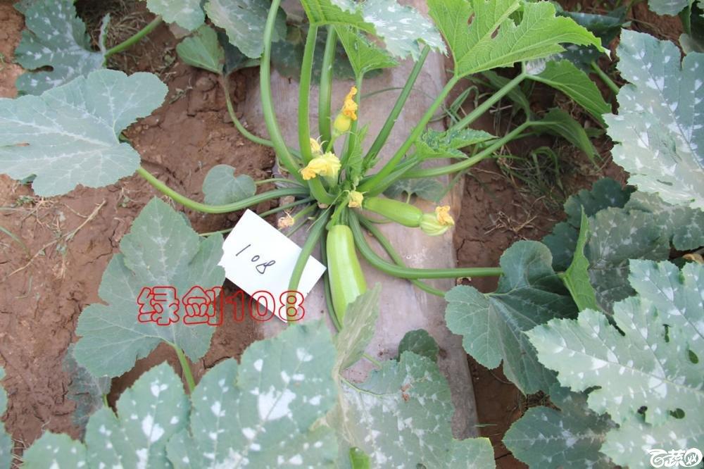 中农福得系列优良蔬菜品种田间展示种植表现_097.jpg