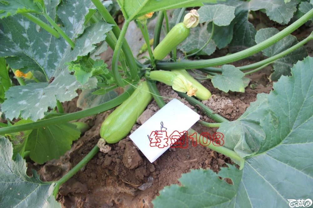 中农福得系列优良蔬菜品种田间展示种植表现_099.jpg