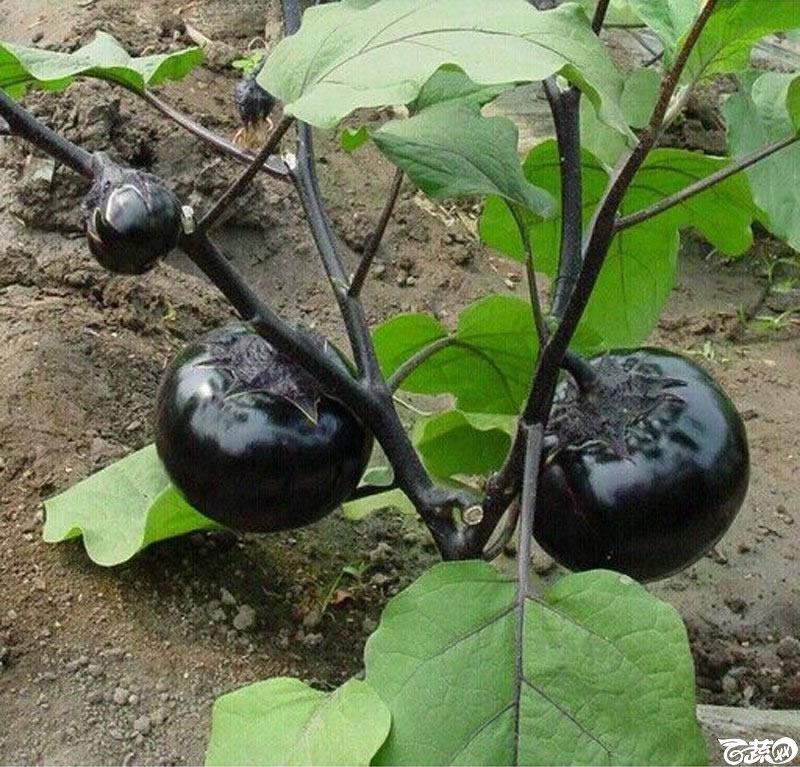 紫黑圆茄1.jpg