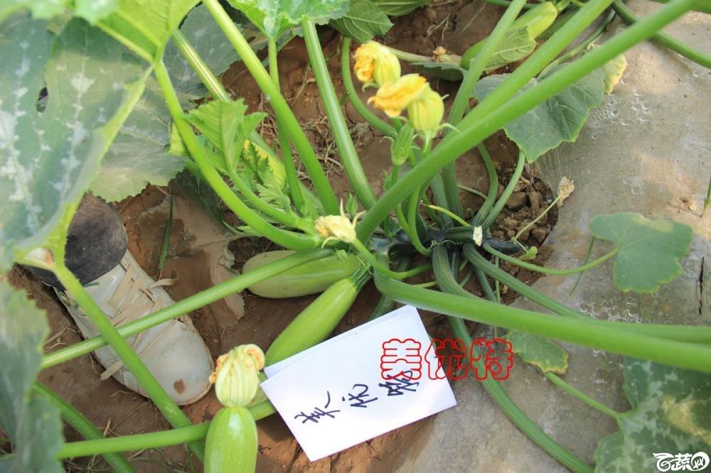 中农福得系列优良蔬菜品种田间展示种植表现_100.jpg