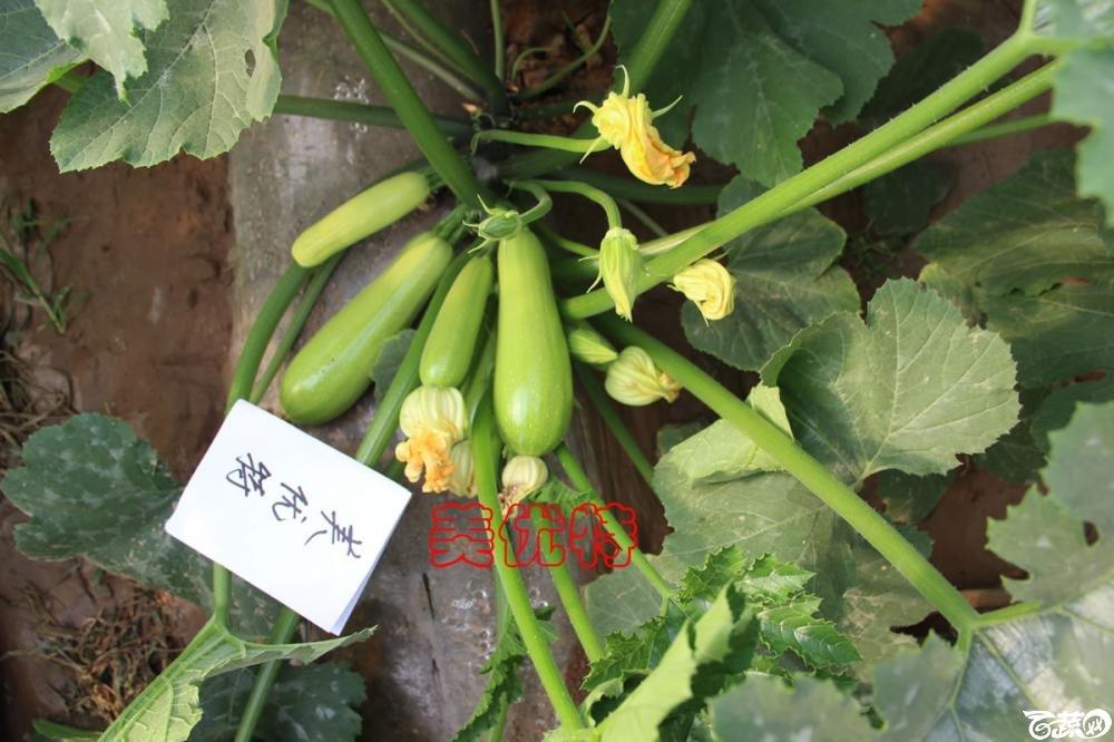 中农福得系列优良蔬菜品种田间展示种植表现_101.jpg