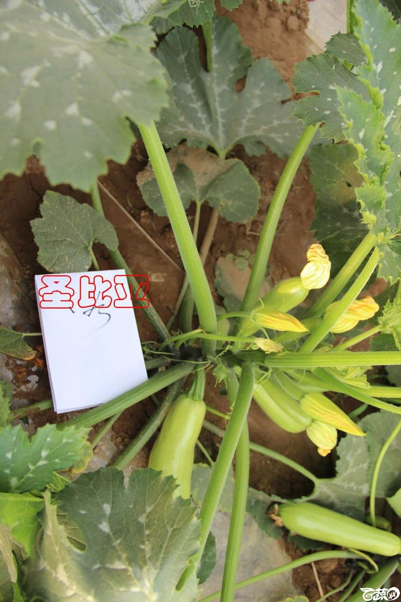 中农福得系列优良蔬菜品种田间展示种植表现_102.jpg