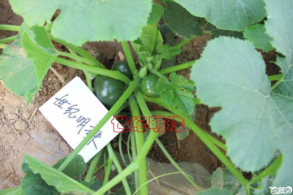 中农福得系列优良蔬菜品种田间展示种植表现_104.jpg