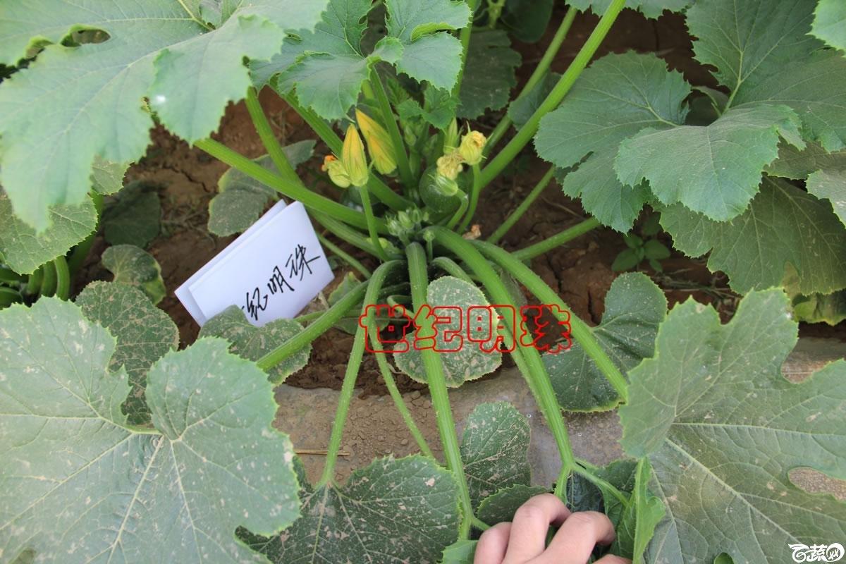 中农福得系列优良蔬菜品种田间展示种植表现_106.jpg