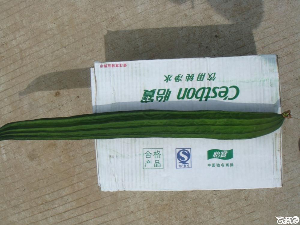 广东农科院蔬菜研究所雅绿六号丝瓜_006.jpg