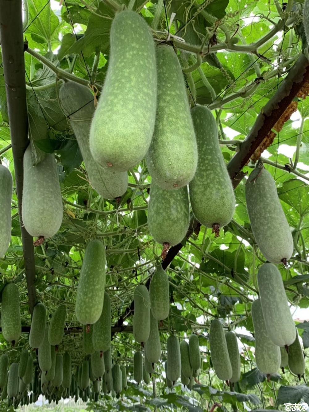 第十七届广州市蔬菜新品种展示推广会,广州亚蔬种苗公司19-6节瓜.JPG