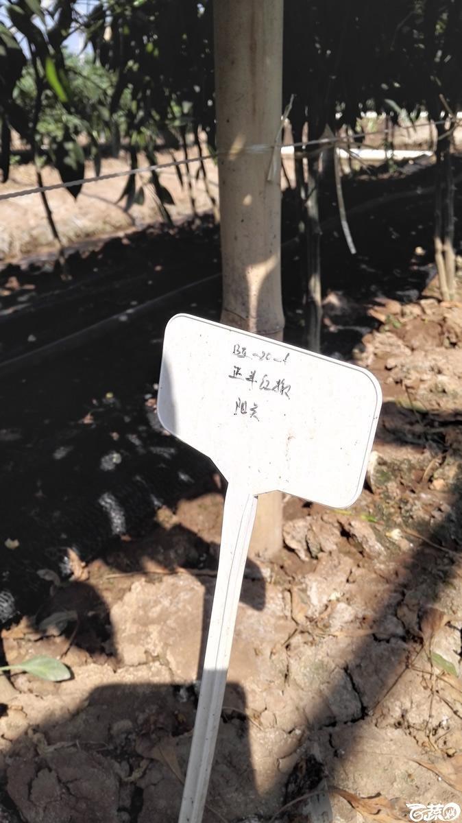 2014年11月23日广州蔬菜新品种展示会-广州阳兴正丰辣椒-001.jpg
