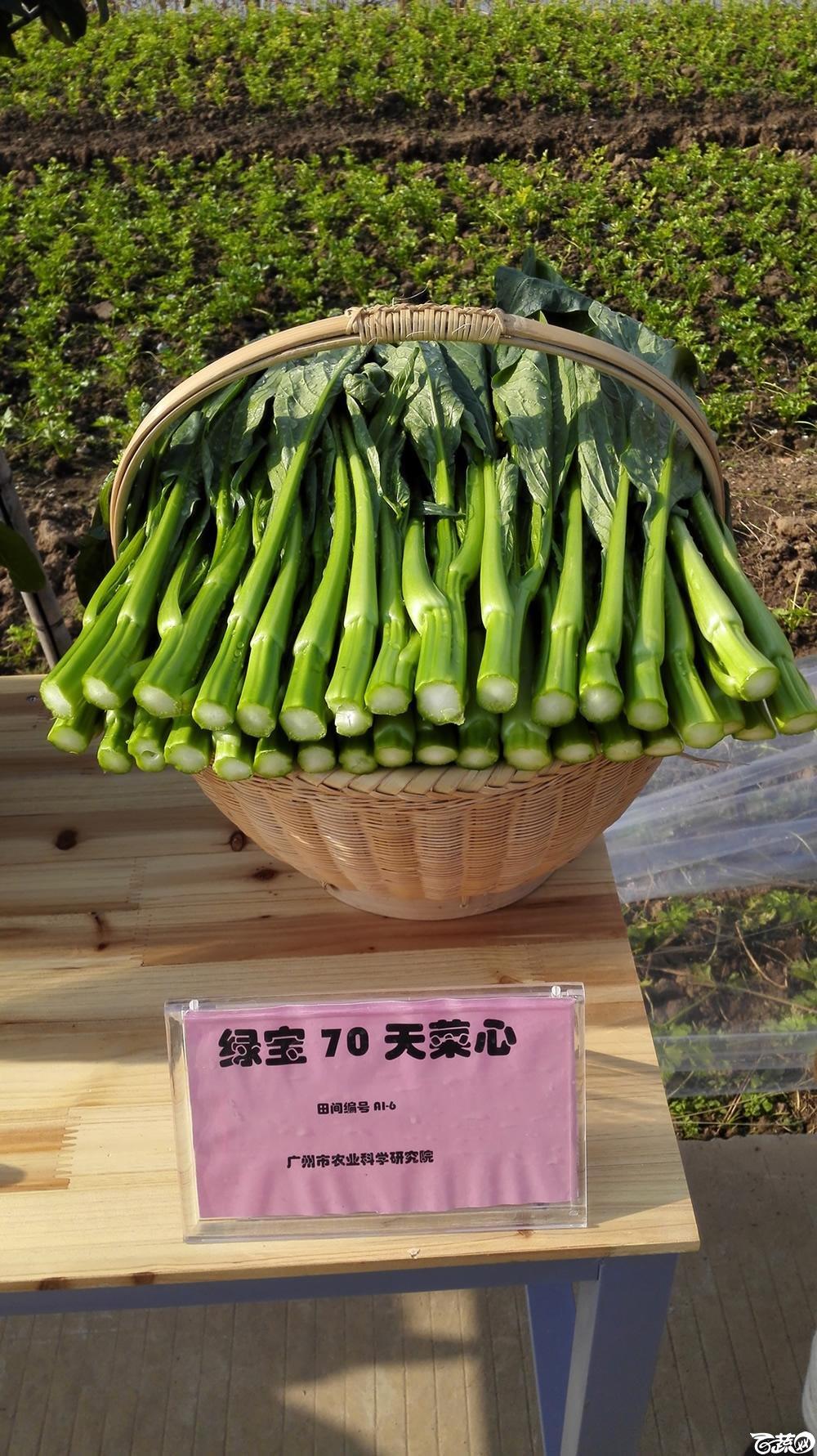2014年12月10号广州市农科院南沙秋季蔬菜新品种展示会_叶菜_002.jpg