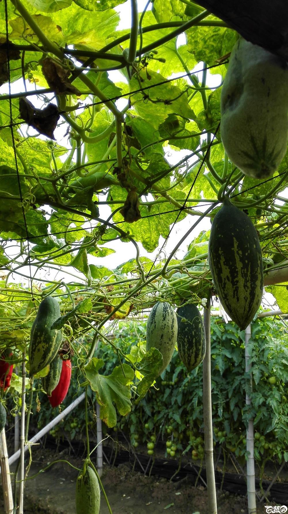 2014年12月10号广州市农科院南沙秋季蔬菜新品种展示会_瓜类_021.jpg