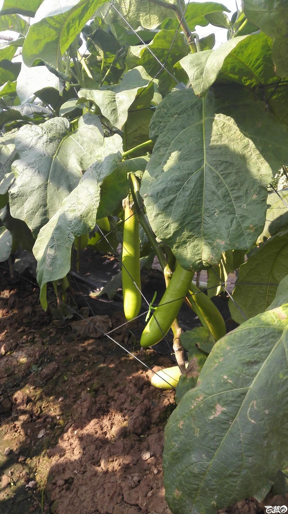 2014年12月10号广州市农科院南沙秋季蔬菜新品种展示会 茄子_041.jpg