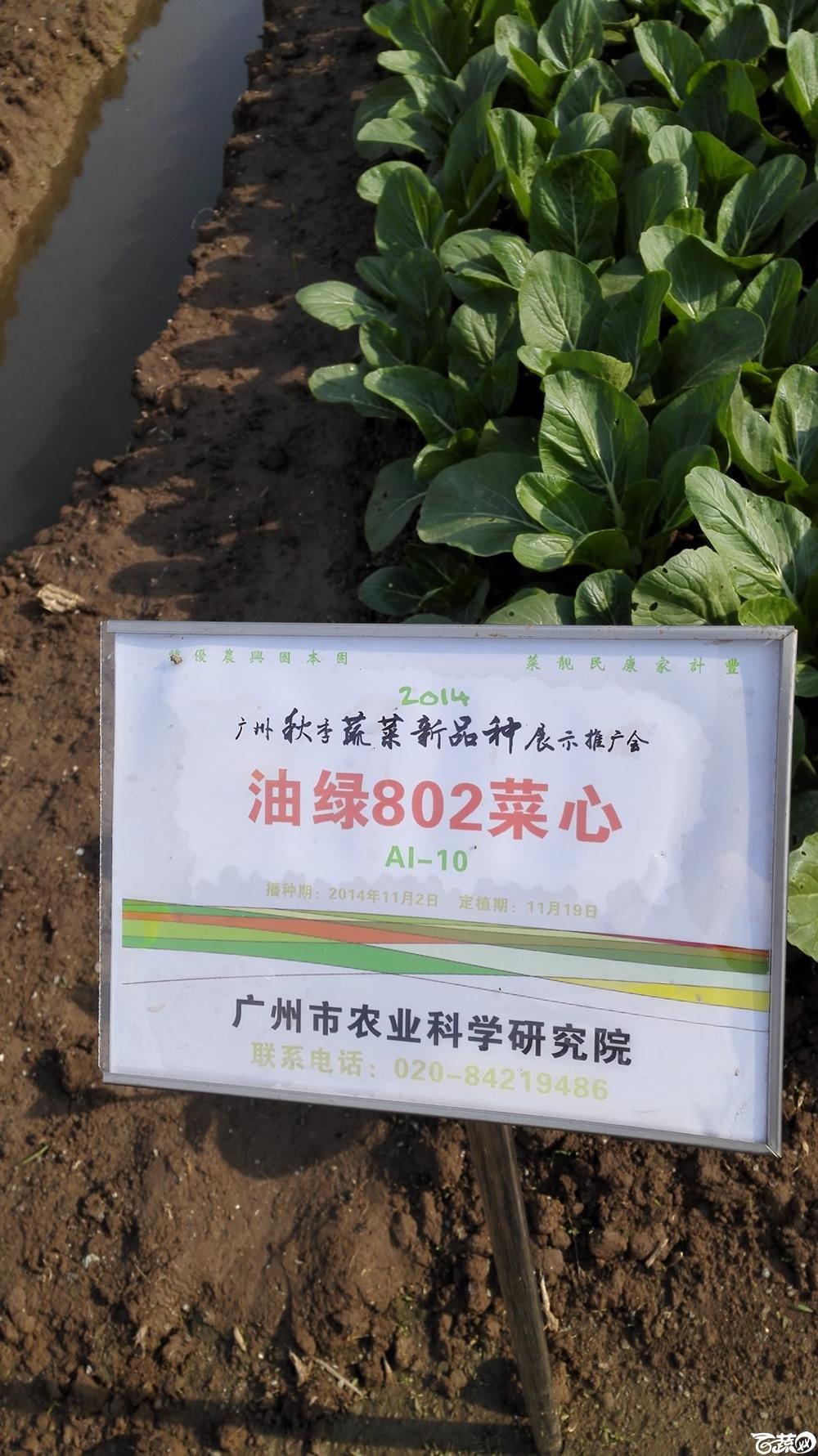 2014年12月10号广州市农科院南沙秋季蔬菜新品种展示会_叶菜_054.jpg