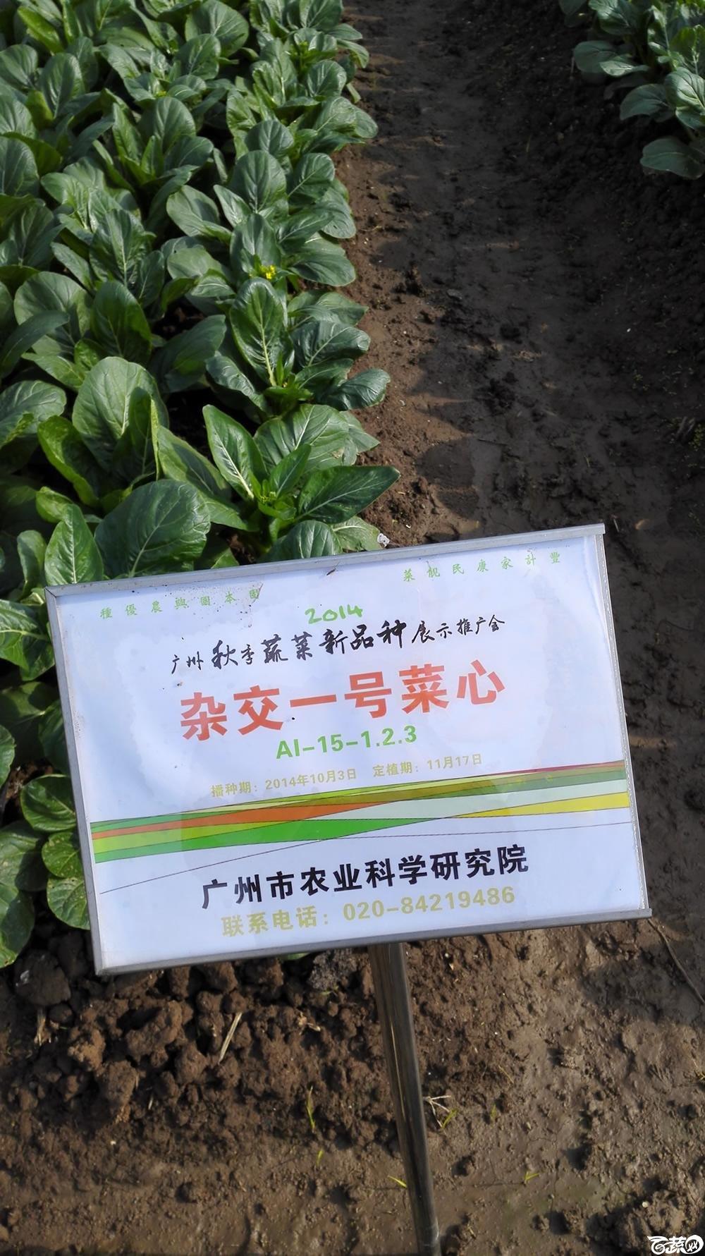 2014年12月10号广州市农科院南沙秋季蔬菜新品种展示会_叶菜_069.jpg