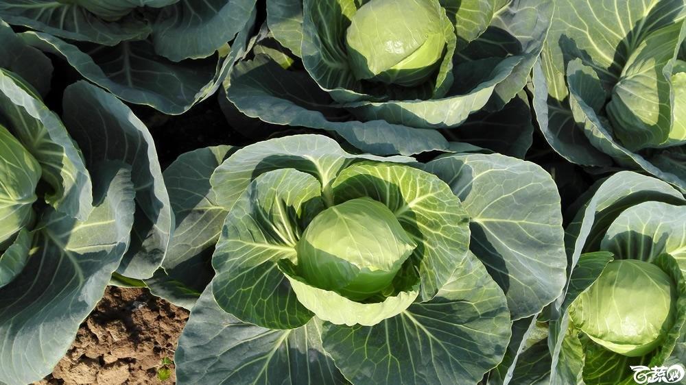 2014年12月10号广州市农科院南沙秋季蔬菜新品种展示会 甘蓝_103.jpg