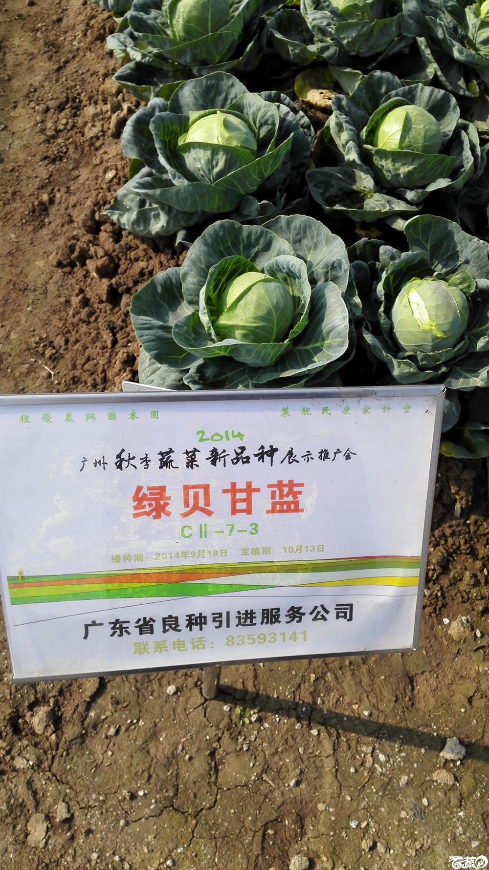 2014年12月10号广州市农科院南沙秋季蔬菜新品种展示会 甘蓝_104.jpg
