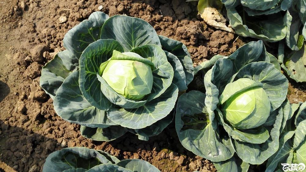 2014年12月10号广州市农科院南沙秋季蔬菜新品种展示会 甘蓝_106.jpg