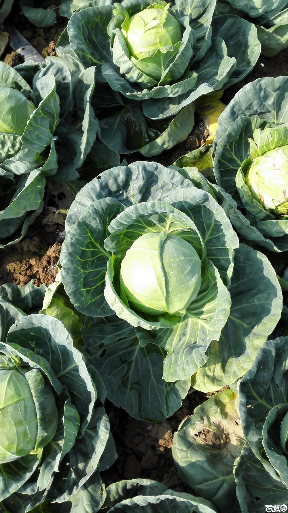 2014年12月10号广州市农科院南沙秋季蔬菜新品种展示会 甘蓝_109.jpg
