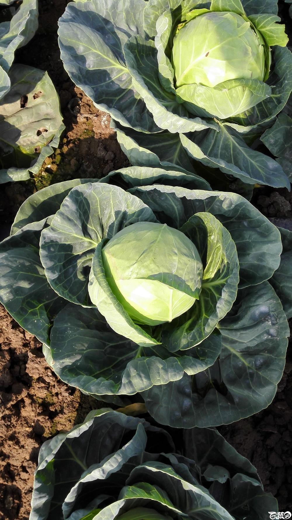 2014年12月10号广州市农科院南沙秋季蔬菜新品种展示会 甘蓝_110.jpg