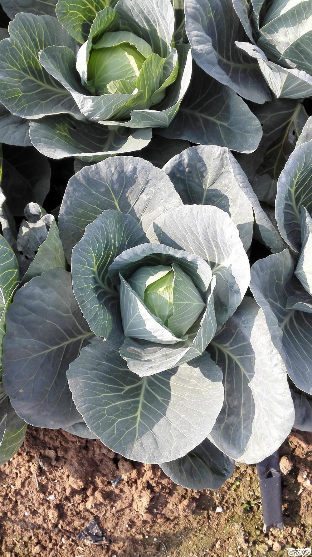 2014年12月10号广州市农科院南沙秋季蔬菜新品种展示会 甘蓝_112.jpg