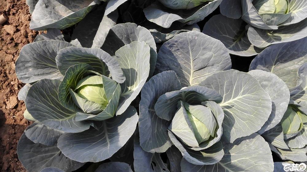 2014年12月10号广州市农科院南沙秋季蔬菜新品种展示会 甘蓝_115.jpg