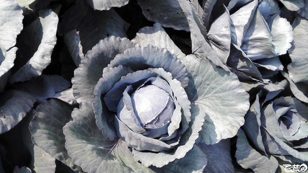 2014年12月10号广州市农科院南沙秋季蔬菜新品种展示会 甘蓝_123.jpg