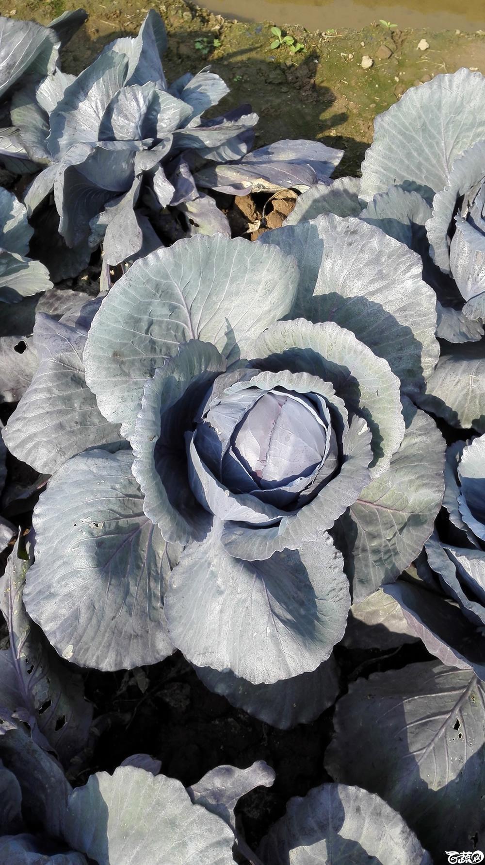 2014年12月10号广州市农科院南沙秋季蔬菜新品种展示会 甘蓝_125.jpg