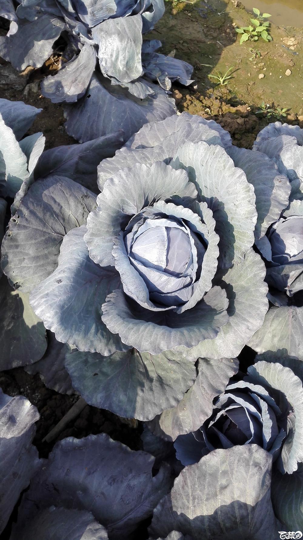 2014年12月10号广州市农科院南沙秋季蔬菜新品种展示会 甘蓝_126.jpg