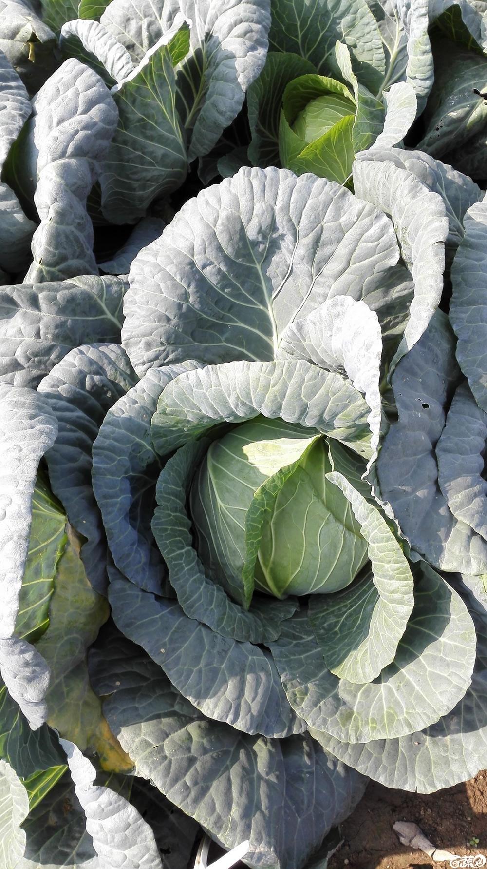 2014年12月10号广州市农科院南沙秋季蔬菜新品种展示会 甘蓝_130.jpg
