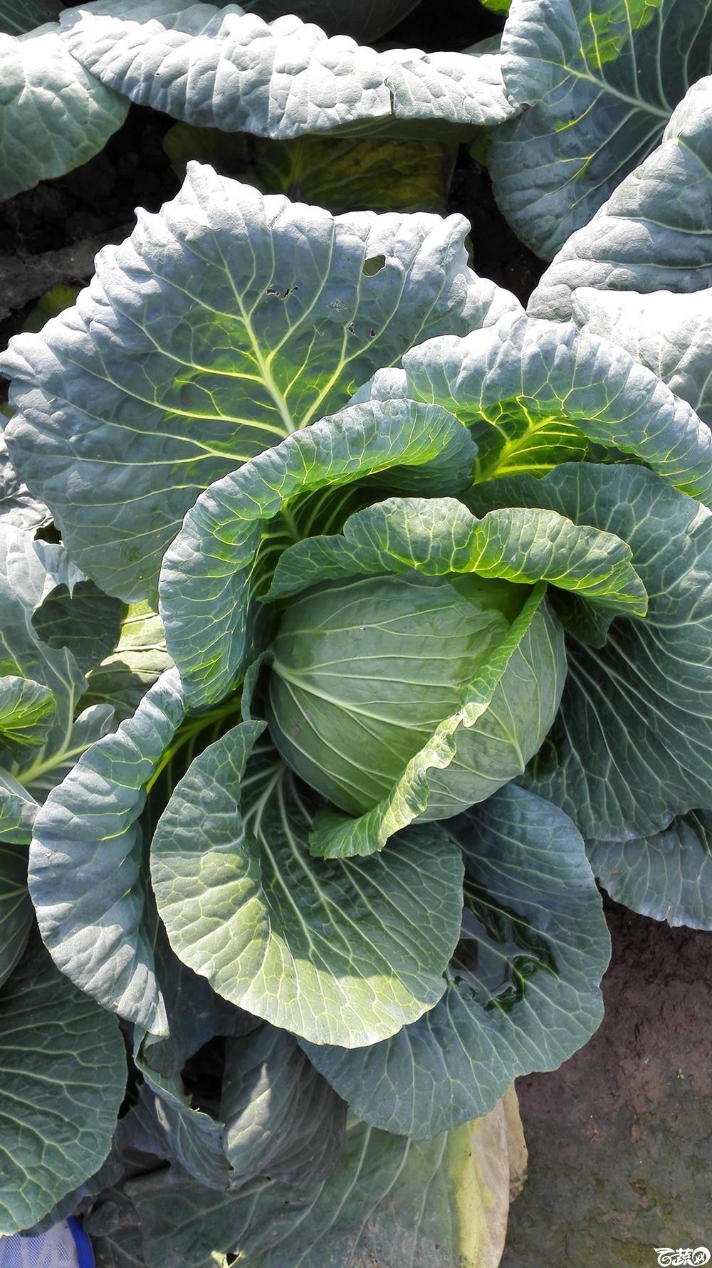 2014年12月10号广州市农科院南沙秋季蔬菜新品种展示会 甘蓝_132.jpg