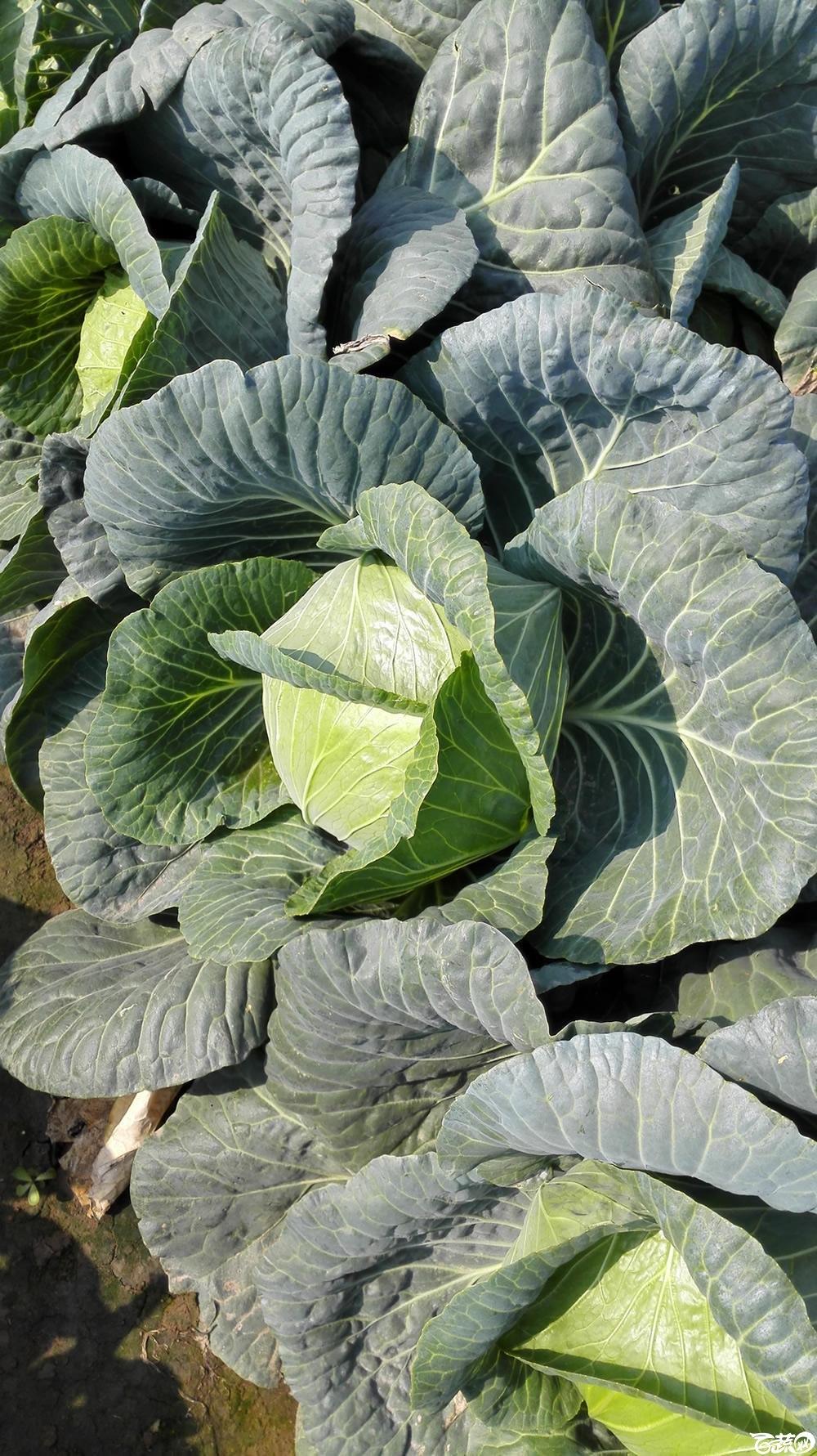 2014年12月10号广州市农科院南沙秋季蔬菜新品种展示会 甘蓝_134.jpg