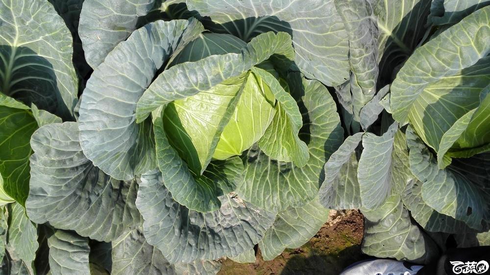 2014年12月10号广州市农科院南沙秋季蔬菜新品种展示会 甘蓝_135.jpg