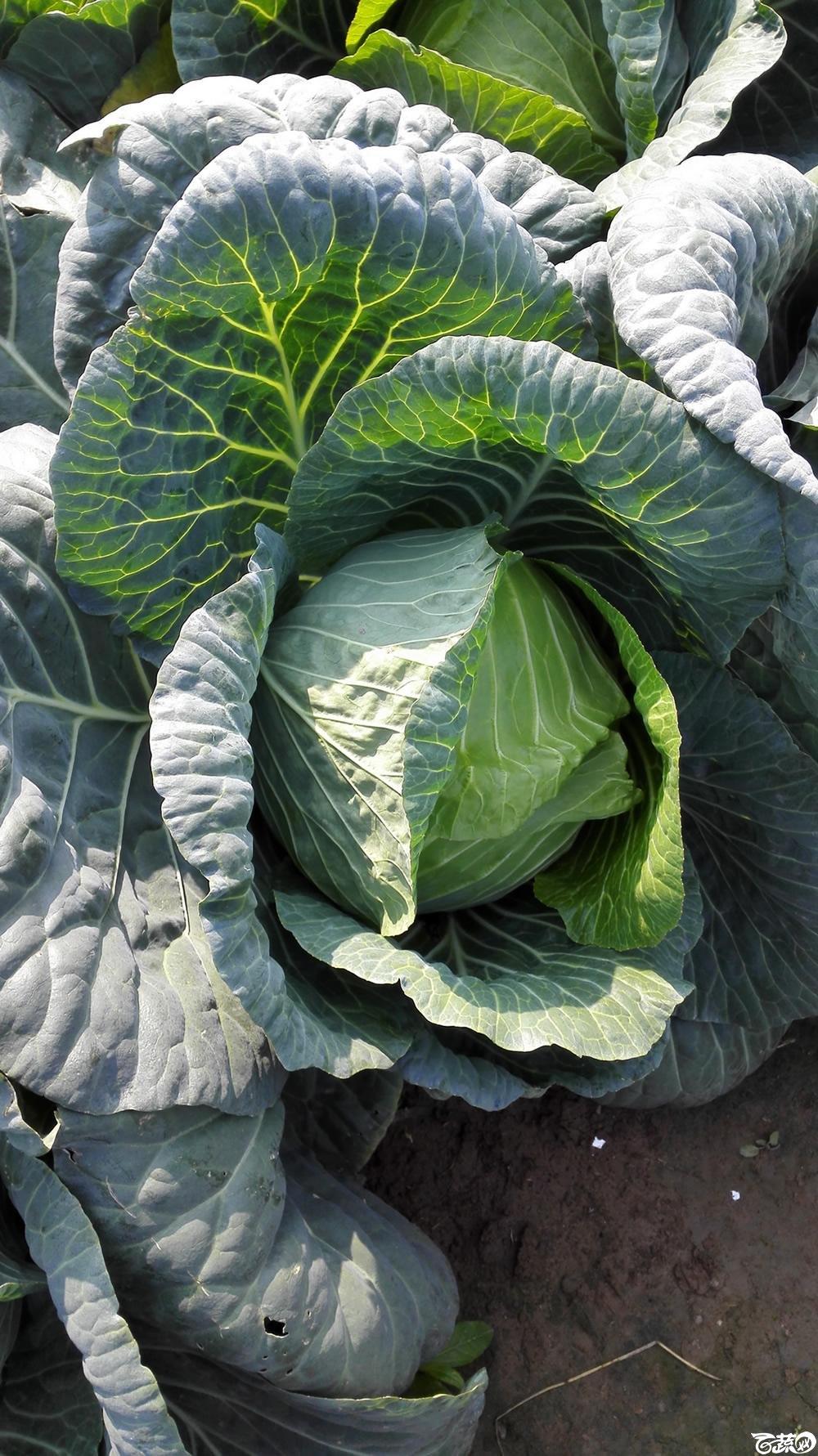 2014年12月10号广州市农科院南沙秋季蔬菜新品种展示会 甘蓝_136.jpg