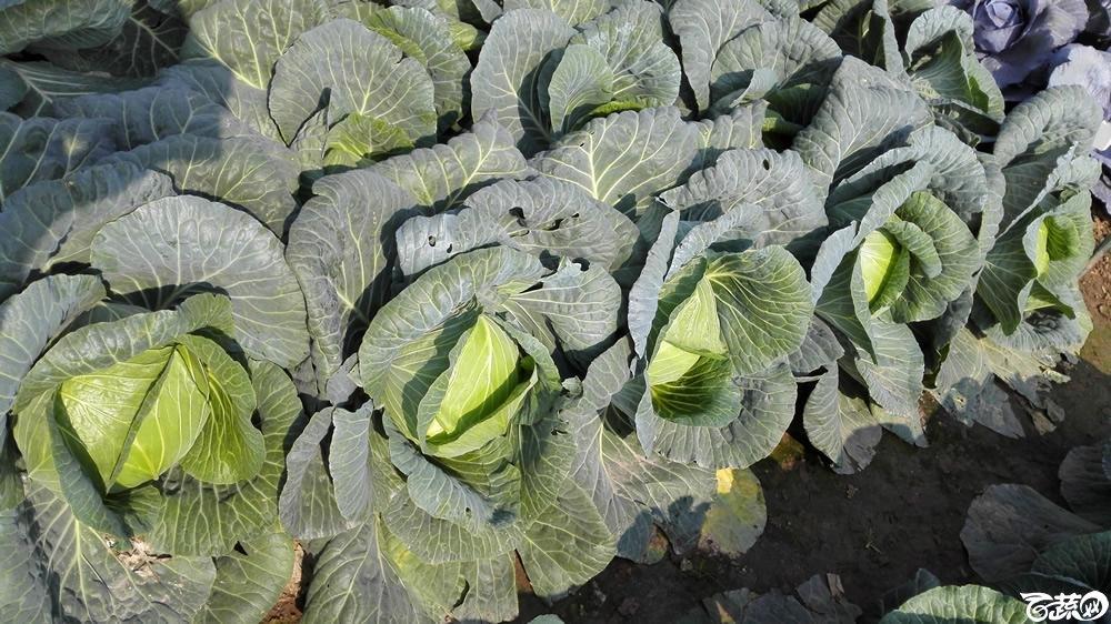 2014年12月10号广州市农科院南沙秋季蔬菜新品种展示会 甘蓝_139.jpg
