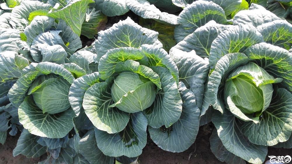 2014年12月10号广州市农科院南沙秋季蔬菜新品种展示会 甘蓝_140.jpg