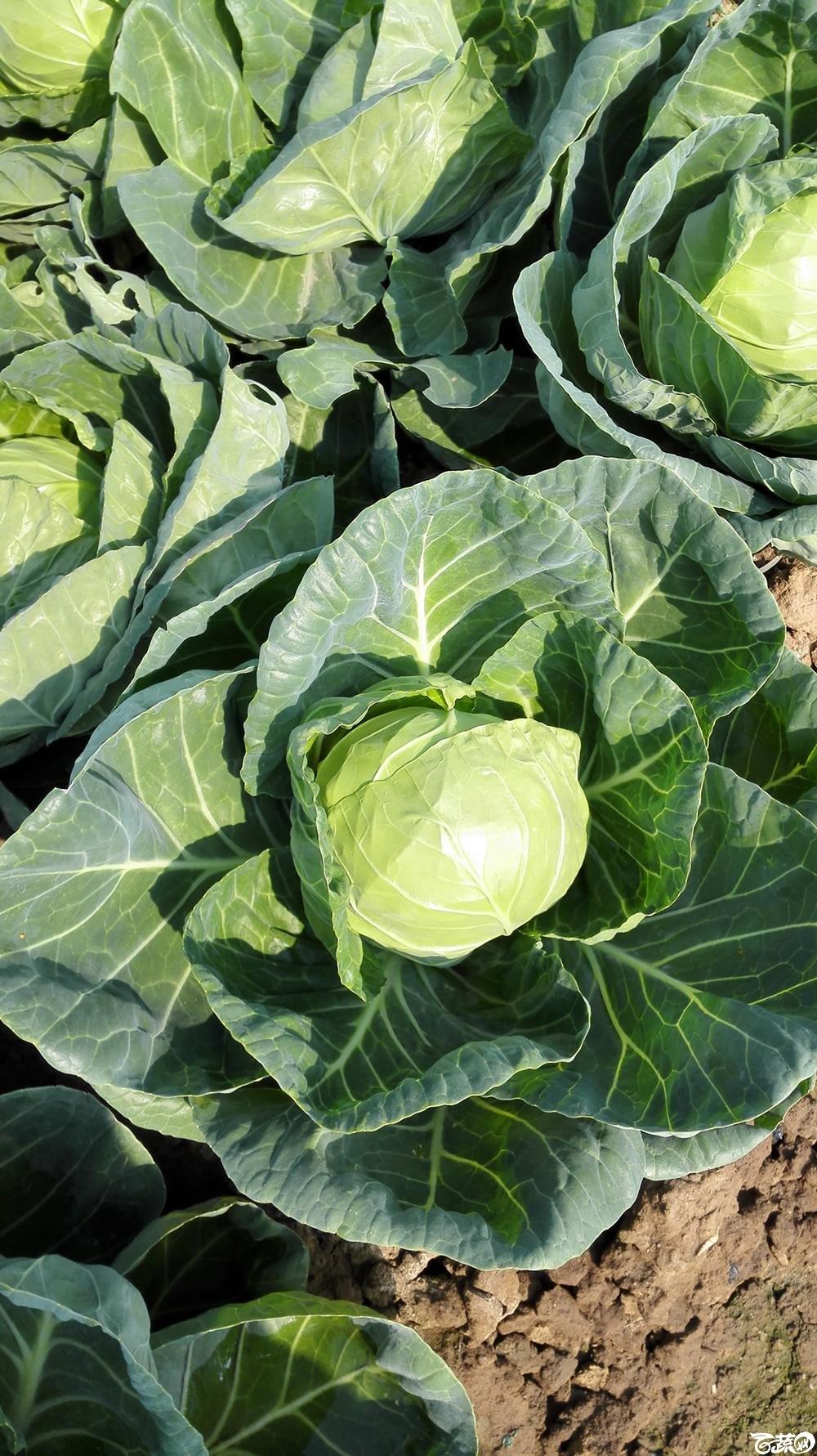 2014年12月10号广州市农科院南沙秋季蔬菜新品种展示会 甘蓝_144.jpg