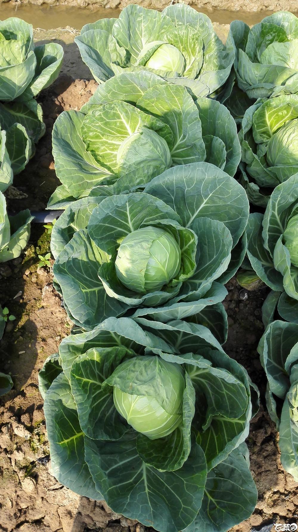 2014年12月10号广州市农科院南沙秋季蔬菜新品种展示会 甘蓝_145.jpg