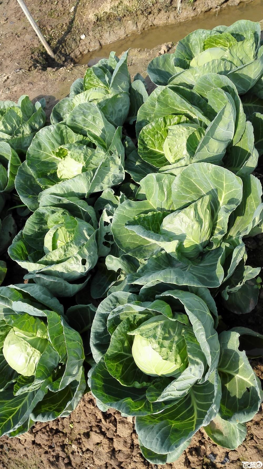 2014年12月10号广州市农科院南沙秋季蔬菜新品种展示会 甘蓝_146.jpg