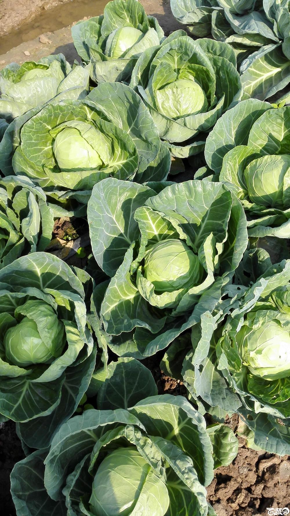 2014年12月10号广州市农科院南沙秋季蔬菜新品种展示会 甘蓝_147.jpg