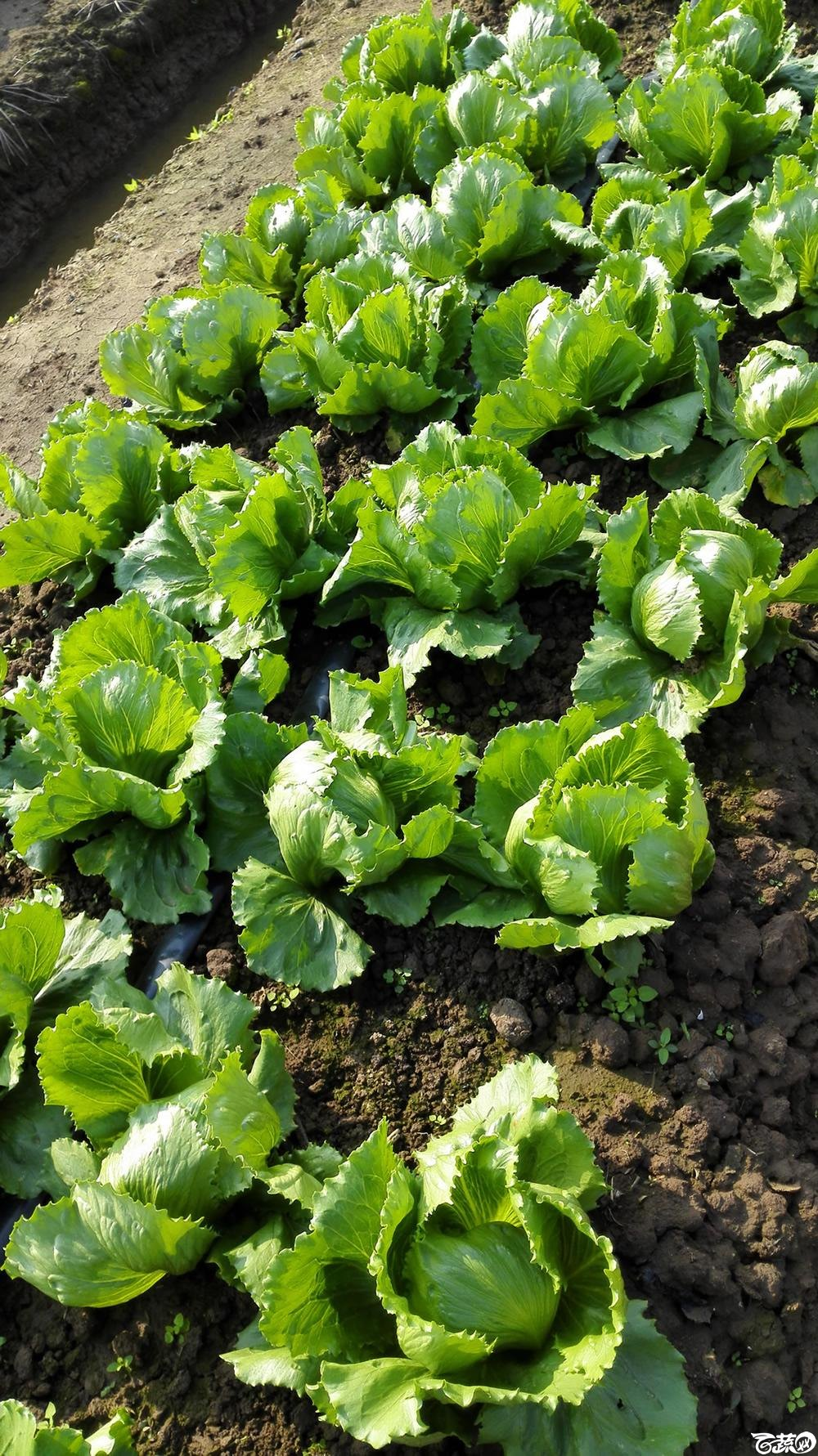 2014年12月10号广州市农科院南沙秋季蔬菜新品种展示会_叶菜_149.jpg