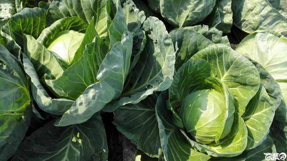 2014年12月10号广州市农科院南沙秋季蔬菜新品种展示会 甘蓝_151.jpg