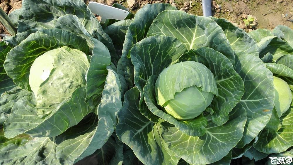 2014年12月10号广州市农科院南沙秋季蔬菜新品种展示会 甘蓝_153.jpg