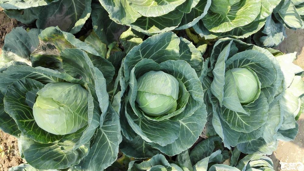 2014年12月10号广州市农科院南沙秋季蔬菜新品种展示会 甘蓝_154.jpg