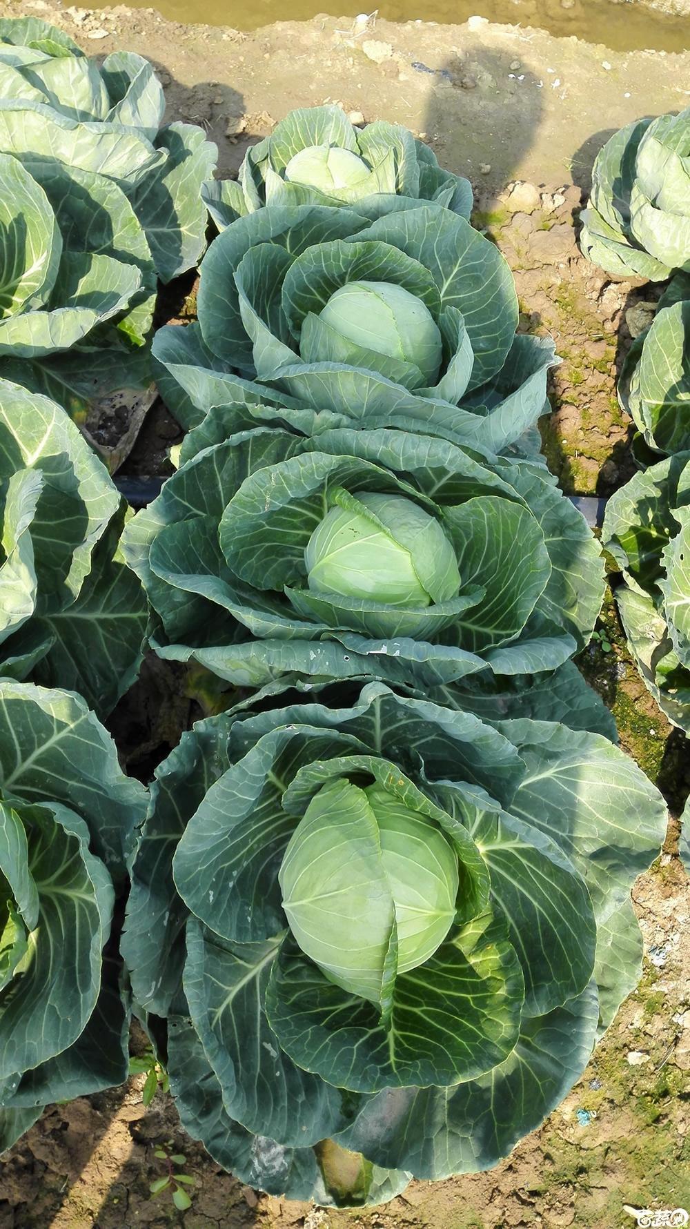 2014年12月10号广州市农科院南沙秋季蔬菜新品种展示会 甘蓝_155.jpg