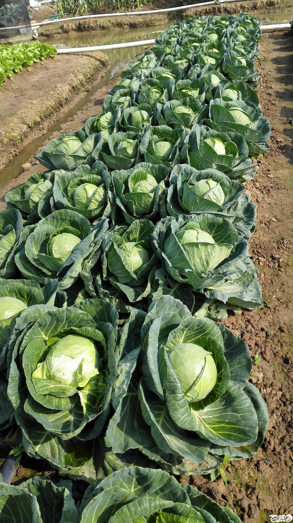 2014年12月10号广州市农科院南沙秋季蔬菜新品种展示会 甘蓝_156.jpg