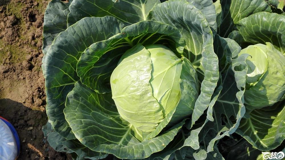 2014年12月10号广州市农科院南沙秋季蔬菜新品种展示会 甘蓝_158.jpg