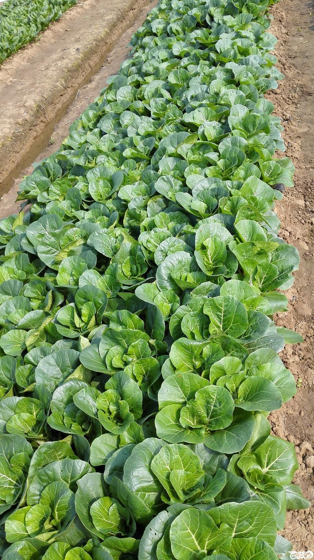 2014年12月10号广州市农科院南沙秋季蔬菜新品种展示会_叶菜_159.jpg