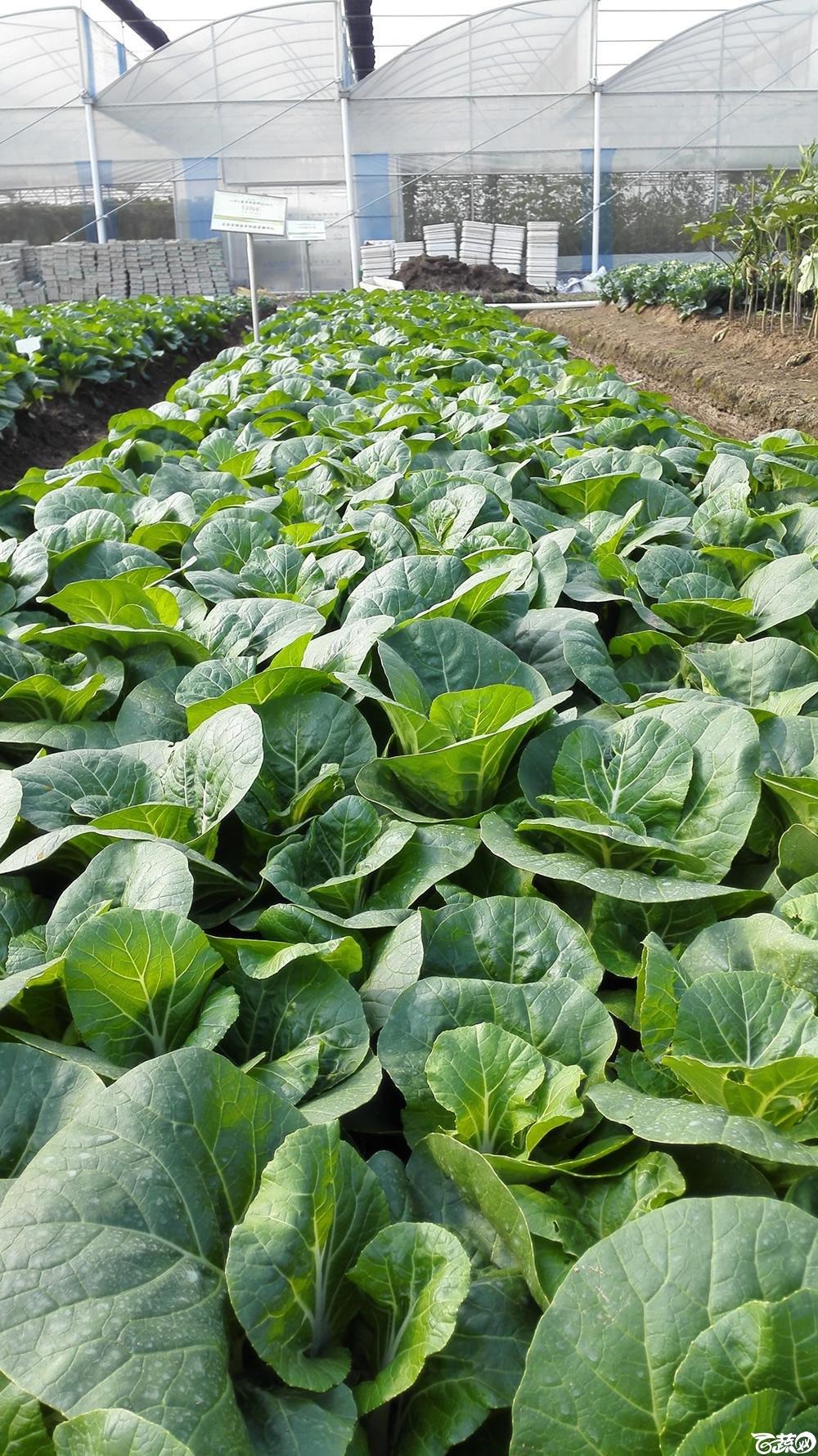 2014年12月10号广州市农科院南沙秋季蔬菜新品种展示会_叶菜_187.jpg